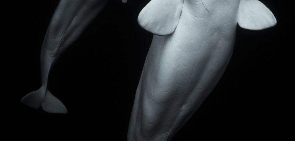 Beluga underwater art