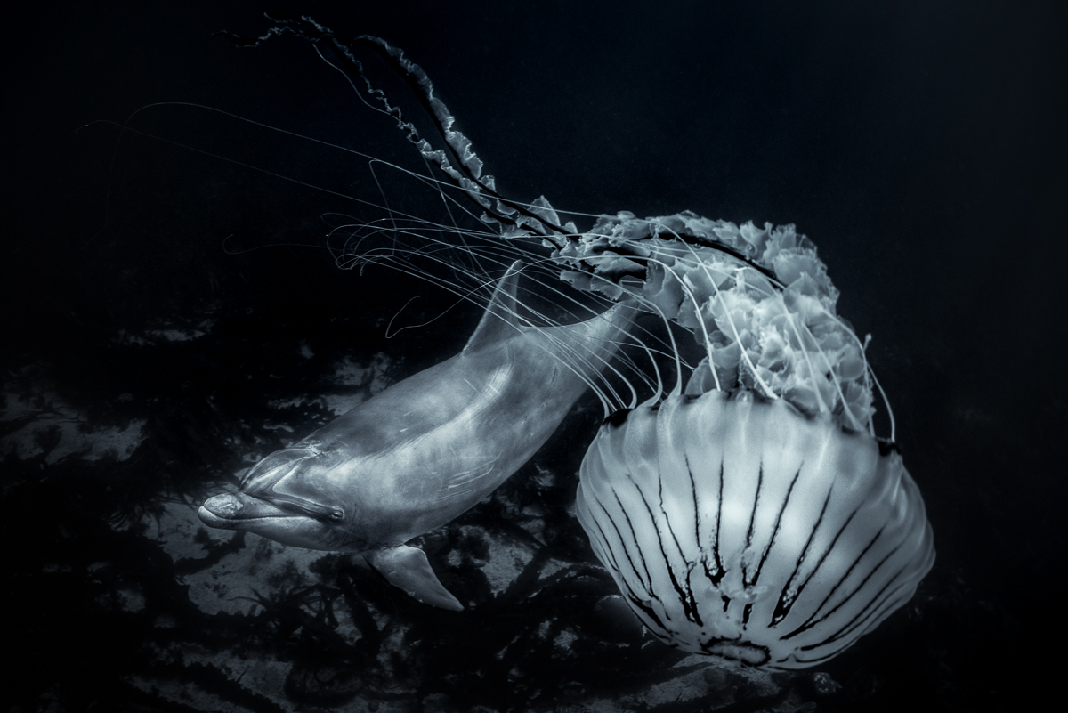 jellyfish and dolphin art photo