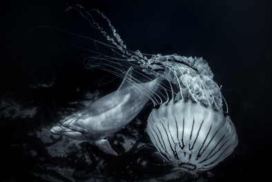 jellyfish and dolphin black and white art